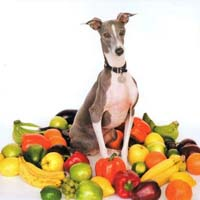 Shellac - Excellent Italian Greyhound